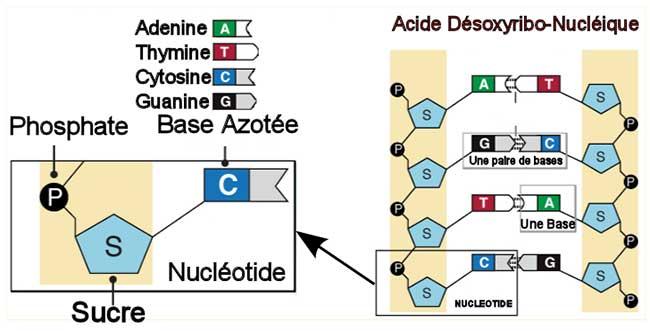 molécules nucleotide